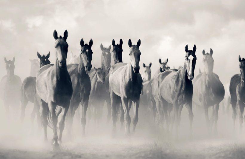 Herd of Akhal Teke Horses