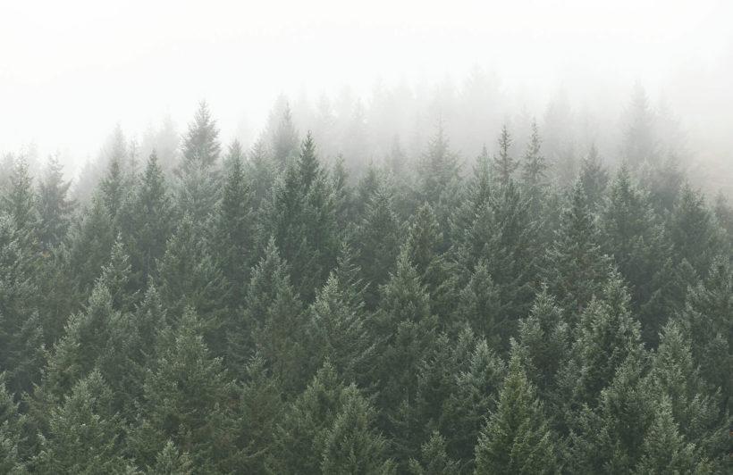 crisp-pines-forest-plain-wall-murals
