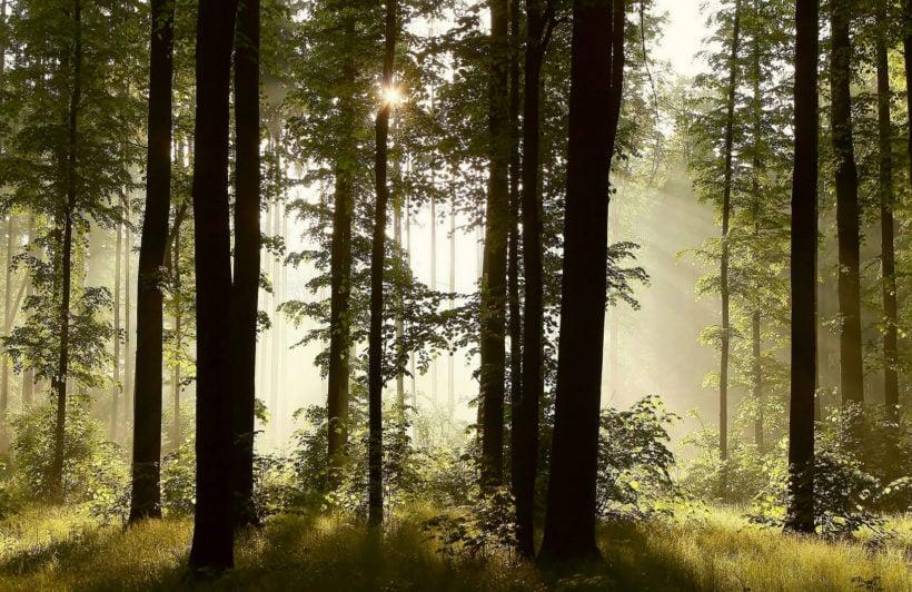 dusk-mist-forest-forest-plain-wall-murals