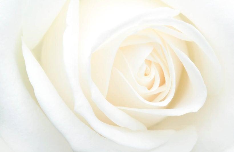 fresh-white-rose-flower-plain-wall-murals