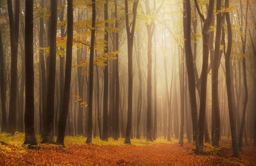 golden-mist-forest-plain-wall-murals