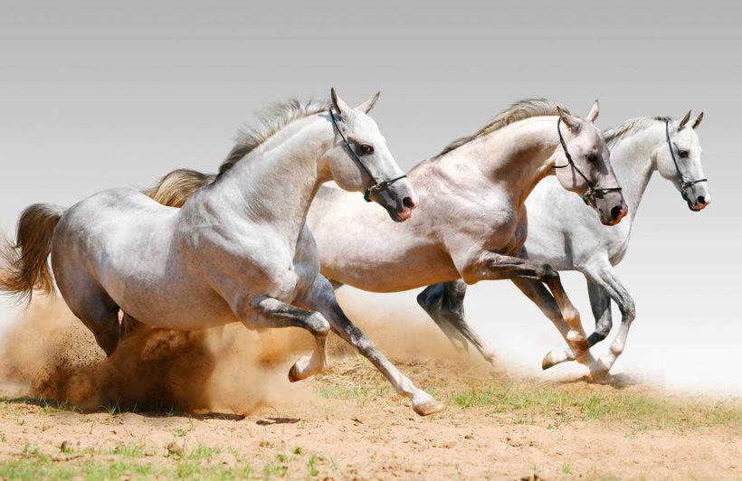 horse-animal-plain-wall-murals