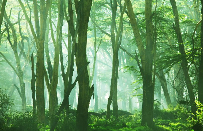 misty-forest-scene-plain-wall-murals