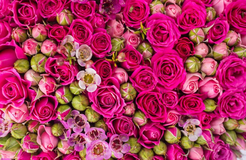 packed-roses-plain-wall-murals