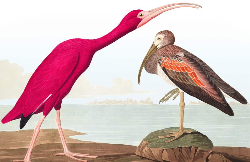 scarlet-ibis-product