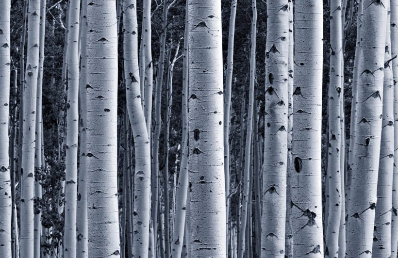 silver-birch-forest-plain-wall-murals