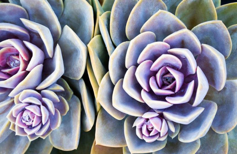 succulent-plant-flowers-plain-wall-murals