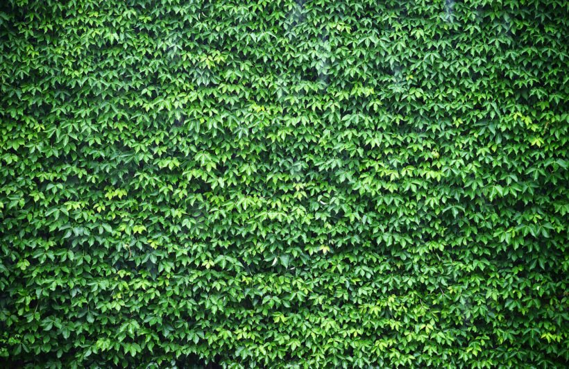 wall-of-green-ivy-texture-plain-wall-murals