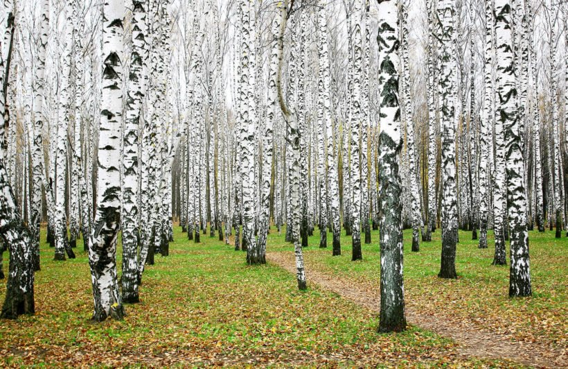 white-birch-forest-forests-plain-wall-murals
