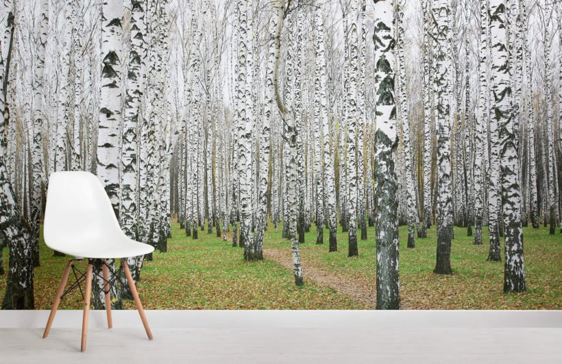 white-birch-forest-forests-room-wall-murals