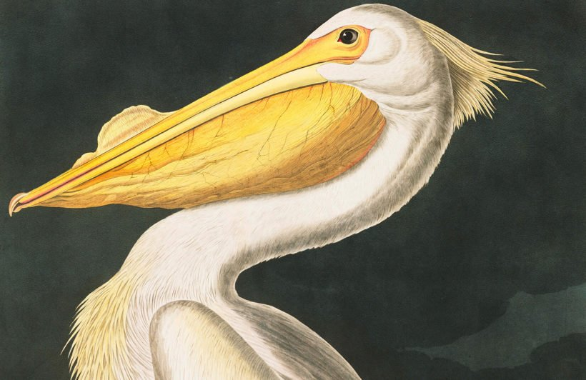white-pelican-product